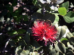 Click to see ohia flower enlarged