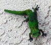 Click to see gecko enlarged