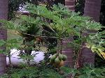 Click to see papaya enlarged