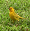 Click to see saffron finch enlarged