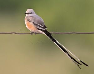 Scissor-tailed Flycatcher, TX