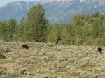 2 moose at Teton Park